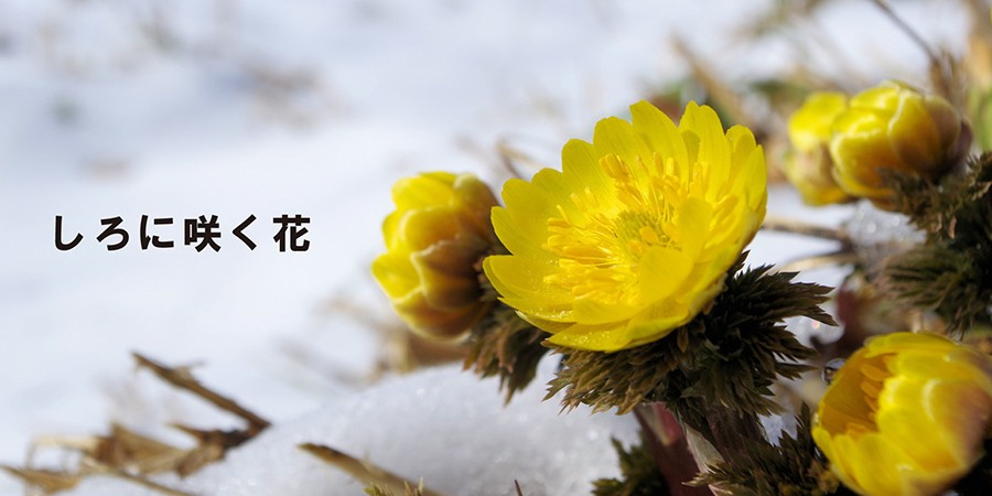 しろに咲く花