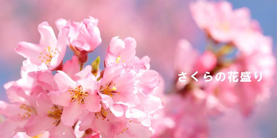 さくらの花盛り
